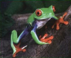 Green skinned Red eyed tree frog